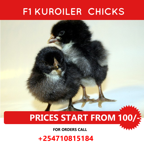 buy kuroiler chicks